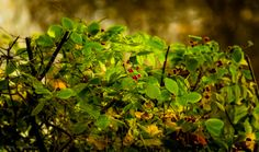 Berry bush - null
