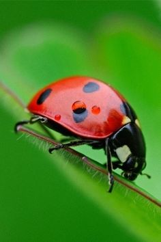 Lady bugs are good luck.  And, they are beneficial for your garden. They feed on insects that damage plants. Cute, as well!