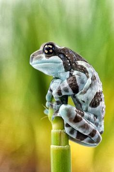 Trachycephalus is a genus of frogs, the casque-headed tree frogs, in the…