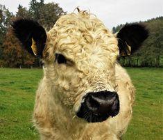 Biobauernhof Posch: Bio-Weidehühner und Bio-Angus Fleisch Angus Rind, Animals, Free Range, Cattle, Adipose Tissue, Animais, Animales, Animaux, Animal