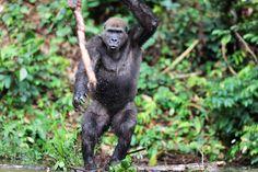 Gorilla by Michal Jirouš on 500px