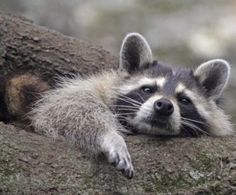 Image result for RACCOON PICTURES TRASH CAN