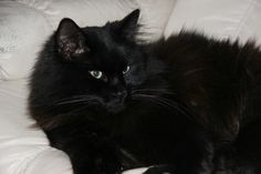 Black Cat - Looks just like my Coco, I miss him so much.  I had him for 14 years!!!