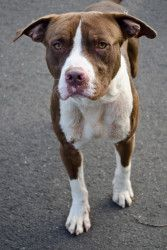 Howard is an adoptable Pit Bull Terrier Dog in Greenwich, CT. Howard is an all-around great guy who has been at the shelter since early September.  He is about 2 years old and has very handsome brown ...