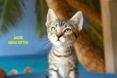 Jacob a Brown Tabby Kitten for Adoption
