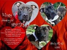 GONE 10-24-2015 --- Manhattan Center-P My name is PEPSI BLUE. My Animal ID # is A1054747. I am a male bl brindle and white pit bull mix. The shelter thinks I am about 1 YEAR 6 MONTHS old. I came in the shelter as a STRAY on 10/13/2015 from NY 11212, owner surrender reason stated was STRAY. http://nycdogs.urgentpodr.org/pepsi-blue-a1054747/