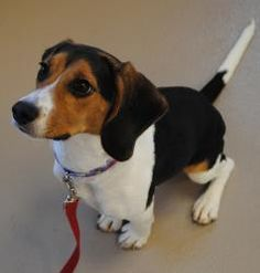 """#WISCONSIN ~ Lola - 7mo old Beagle #adoptable in #Appleton. I'm a super sweet girl & like most beagles I can be very vocal & a bundle of energy! Some people think I've a tad bit of x-tra bouncy #puppy behavior while most beagle lovers think I'm just plain cute! I just love to play play play & go go go wherever my nose will take me! I'm a happy girl & can't wait to find an active family to give me lots of love & playtime!"""" with Fox Valley Humane Association #adoption fee 260.00 ph 920-733-1717"""