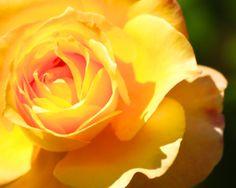 Yellow Rose Close Up Yellow Petals close Up by LifeTravelPhotos