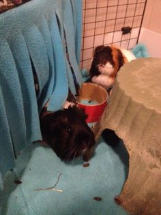Cute! Introducing guinea pigs!