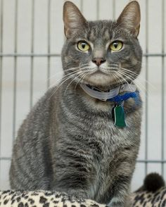 1 1/2 year-old Merlin is a beautiful lovable male silver tabby. This boy recently came into our care and is in need of a loving responsible home!  Merlin's adoption number is H205850. Photo courtesy of Ellen Dunn. #MeowMonday