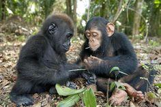 A rare encounter of a baby gorilla and a chimpanzee examining leaves at the Evaro Gorilla Orphanage in Gabon.