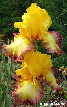 Clothed in Glory Tall Bearded Iris