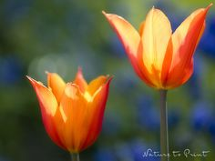 Blumenbild-Kunstdruck und Leinwandbild eleganten Tulpe im Garten