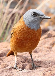 Cape Rock Thrush, Monticola rupestris at Marakele National Park, South Africa