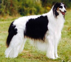 borzoi dog photo | dogs and cats shown off during meet the breeds show two borzoi dogs ...