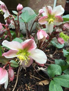 I brought this helleborres from Ketchikan