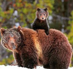Momma Bear and Baby Bear under the snow. Nature Animals, Animals And Pets, Baby Animals, Funny Animals, Cute Animals, Photo Animaliere, Mother Bears, Momma Bear, Bear Cubs