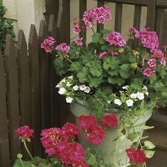 Plant Geraniums Containers My mom planted Geraniums year after year, probably started because they are such a hearty/resilient flower, ...