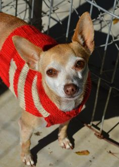 Casey- Chihuahua • Adult • Male • Small Abandoned Animal Rescue Tomball, TX