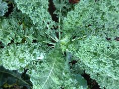 Blue Curled Vates is an open-pollinated version of curly kale, easy to grow and will produce spring through fall. Check out our growing instructions for natural pest control ideas.