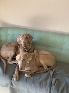 Two happy rescued Weimaraner. Finally welcome to our world and as well the change in our life. In love Blitz & Elsa New Sibling, Weimaraner, Our World, Happy Family, Beach Day, Our Life, Siblings, Happy Life, Elsa