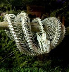 Green tree python skeleton #tree