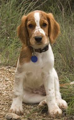 Welsh Springer Spaniel...    one word for this photo  - a-dor-a- ble...