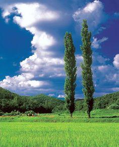 한 여름의 미루나무 2008년 8월 9일 힌 여름의 미루나무... 상상만 해도 추억이 있고, 눈에 띠어 보기만 해도 즐겁다. 내고향...남한강 상류인 장호원 청미천(원부리)의 미루나무다. 구름 한점없이 무더운날, 어제 10시30분경에 찍은 사진이다.