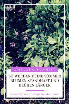 Mit dieser Schnitt Technik die Standhaftigkeit der Pflanzen erhöhen und die Blüte verlängern Chelsea, Herbs, Shade Perennials, Plants, Herb, Chelsea Fc, Chelsea F.c., Medicinal Plants