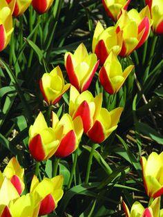 https://brentandbeckysbulbs.com/data/Lilaceae-Tulipa-Taco-Tulip.jpg