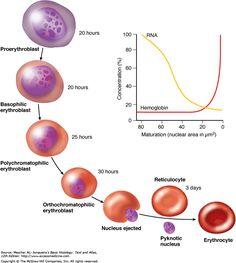 Erythrocyte differentiation - Google Search