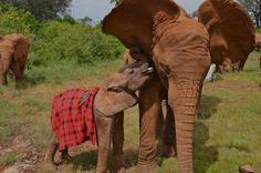 A baby elephant at the David Sheldrick Wildlife Trust