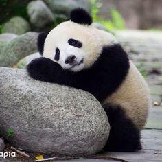 worn out baby panda . worn out baby panda . Niedlicher Panda, Panda Bebe, Panda Art, Funny Animal Pictures, Cute Pictures, World Pictures, Nature Pictures, Panda Mignon, Panda Nursery