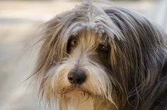 Bearded Collie by Ingenhoven Photography, via 500px