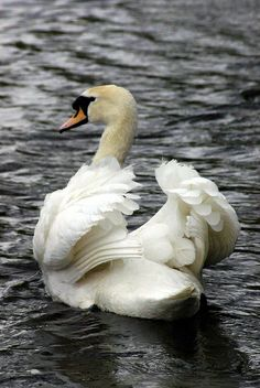 Swan spreading the wings. Beautiful