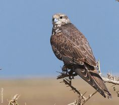 Types of Falcon Species. By Nick Askew. Below is shown a list of falcon species.
