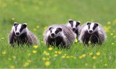 Badger cull: only small proportion of shootings to be monitored for humaneness