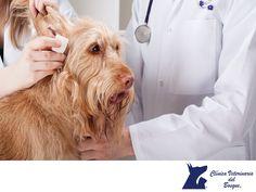 ¿Cómo puedo saber si mi perro tiene otitis? CLÍNICA VETERINARIA DEL BOSQUE. El perro se rasca con frecuencia las orejas, sacude la cabeza, está intranquilo, le molesta si le tocas las orejas. En casos graves, incluso puede llevar la cabeza inclinada hacia el lado del oído afectado. Además, el oído aparece inflamado, enrojecido y suele oler mal, puede tratarse de hongos, bacterias, alergias, etc. www.veterinariadelbosque.com  #veterinaria
