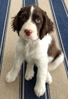 Mabel the English Springer Spaniel.  Miss Mabel is only a few months old but one look into her eyes tells you she has the mind of an old soul. She loves playing fetch, chewing magazines, and dismantling her toys. She's growing like a weed and often forgets her own size as she tries to play hide and seek.