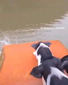 Piggy splash party 💦🐷 Via - Note: These pigs are used to swim, this pond was created for them. This area is very hot and they o - Cute Little Animals, Cute Funny Animals, Funny Dogs, Cute Dogs, Happy Animals, Nature Animals, Animals And Pets, Baby Animals Pictures, Funny Animal Pictures