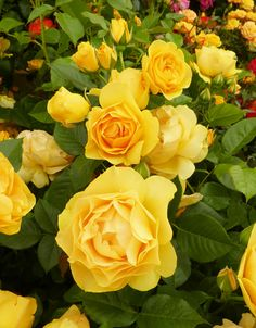 Rosa-Absolutely Fabulous ~Another shrub rose, this time with butter-yellow flowers. It's a classic-style floribunda rose. Absolutely Fabulous was crowned Rose of the Year in 2010 and has a gentle myrrh scent~ ☆♥☆