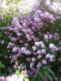 .syreeni Garden Park, Lilacs, Amazing Gardens, Finland, Denmark, Norway, Sweden, Parks, Garden Ideas