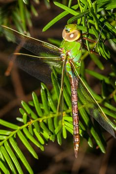 Green Darner Dragonfly near Nature Boardwalk