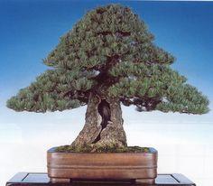 Classic Japanese Pine