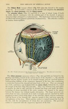 Gray's Anatomy Henry Gray Eye Anatomy, Human Anatomy Art, Human Anatomy And Physiology, Body Anatomy, Anatomy Drawing, Eyeball Anatomy, Medical Drawings, Medical Art, Biology Drawing