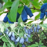 """Early Honeyberry Plant Collection from Stark Bro's  4"""" Pot #135735 Available. Estimated delivery Wednesday, March 9th to 84535 $19.99 Includes 2 Plants"""