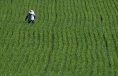 Japanese Farmers Just Got a New Pesticide: The Flightless Ladybug
