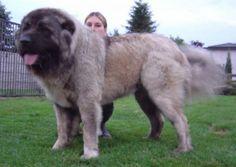 King of dogs: Caucasian Shepherd