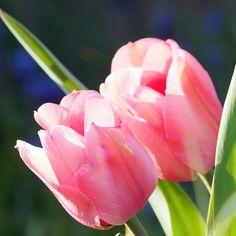 Tulips Flowers, Tropical Flowers, Fresh Flowers, Spring Flowers, Planting Flowers, Hawaiian Flowers, All Flowers, Cactus Flower, Exotic Flowers