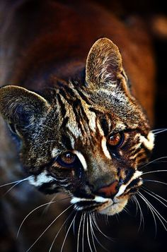 The Asian golden cat also called the Asiatic golden cat and Temminck's cat is a medium-sized wild cat of Southeastern Asia. Scientific name: Pardofelis temminckii Rank: Species Higher classification: Catopuma